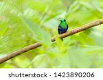 purple crowned woodnymph ... | Shutterstock . vector #1423890206