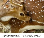 Small photo of Deary eyes of a Deer