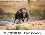 African Buffalo Attacked By...