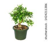 Ulmus Parvifolia  Chinese Elm...