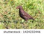 Blackbird With Worm In The Beak