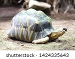 Stock photo the radiated tortoise astrochelys radiata is an originally endemic to madagascar species from the 1424335643