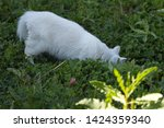 Fluffy White Cat Digs The...