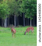 Buck And Doe Whitetail Deer On...