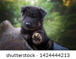 Stock photo puppy with paws up cute black puppy dog wawes impressive dog portrait bohemian shepherd puppy 1424444213