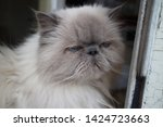portrait of a shaggy cat with... | Shutterstock . vector #1424723663