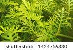 beautiful fresh green leaves of ... | Shutterstock . vector #1424756330