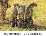 cheetah family in the shade ...   Shutterstock . vector #1424838650