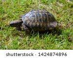 Stock photo the dalmatian tortoise or hermann tortoise testudo hermanni is one of five tortoise species 1424874896