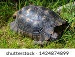 Stock photo the dalmatian tortoise or hermann tortoise testudo hermanni is one of five tortoise species 1424874899