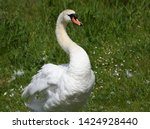 family of swans with cygnets   Shutterstock . vector #1424928440