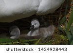 family of swans with cygnets   Shutterstock . vector #1424928443
