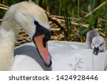 family of swans with cygnets   Shutterstock . vector #1424928446