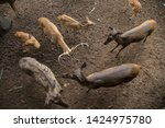sika or sportted deer at the...   Shutterstock . vector #1424975780