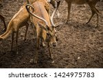 sika or sportted deer at the...   Shutterstock . vector #1424975783