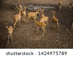 sika or sportted deer at the...   Shutterstock . vector #1424975789