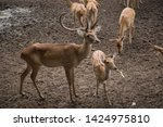 sika or sportted deer at the...   Shutterstock . vector #1424975810