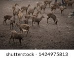 sika or sportted deer at the...   Shutterstock . vector #1424975813