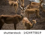 sika or sportted deer at the...   Shutterstock . vector #1424975819