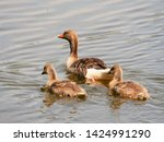 goose family at a lake   Shutterstock . vector #1424991290