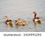 goose family at a lake   Shutterstock . vector #1424991293