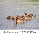 goose family at a lake   Shutterstock . vector #1424991296