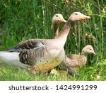 goose family at a lake   Shutterstock . vector #1424991299