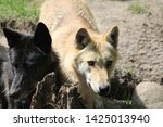a wolf family in a zoo   Shutterstock . vector #1425013940