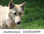 a wolf family in a zoo   Shutterstock . vector #1425014099