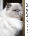 portrait of a shaggy cat with... | Shutterstock . vector #1425021740