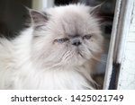 portrait of a shaggy cat with... | Shutterstock . vector #1425021749