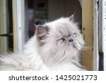 portrait of a shaggy cat with... | Shutterstock . vector #1425021773