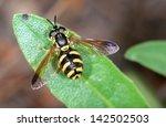 Hoverfly.chrysotoxum Cautum