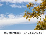 a branch of a walnut tree with... | Shutterstock . vector #1425114353