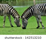 Pair Of Zebra Eating Grass In...