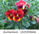 Stock photo beautiful flowers that have red and yellow petals the petals have also some zones with dark red 1425350606