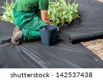 horticulturist installs special ... | Shutterstock . vector #142537438