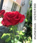 Small photo of A group of large red roses shown up close- natural red rose on branch
