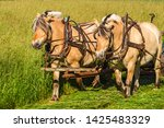 Fjord Horses Working On A Fiel...