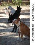 canine portrait  dog obedience...   Shutterstock . vector #1425498200