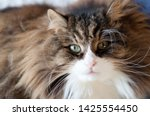 Beautiful Fluffy Cat With Very...
