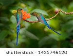 Long tailed sylph  aglaiocercus ...