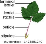 structure of green leaf of... | Shutterstock .eps vector #1425881240