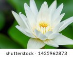 white lotus with yellow pollen... | Shutterstock . vector #1425962873