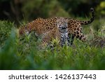Wild Jaguars Mating In The...