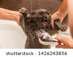 Funny Wet British Cat With...