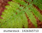 ferns growing in natural... | Shutterstock . vector #1426365713