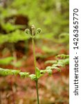 ferns growing in natural... | Shutterstock . vector #1426365770
