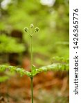 ferns growing in natural... | Shutterstock . vector #1426365776