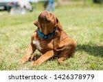 Stock photo fleas attack dogue de bordeaux puppy scratching 1426378979